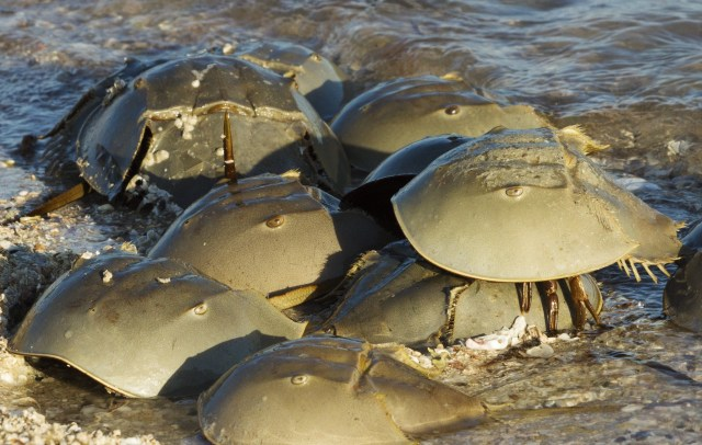Florida wildlife officials want you to report horseshoe crab sexcapades on the beach | Blogs