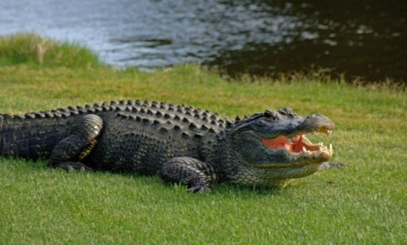 Image result for gator
