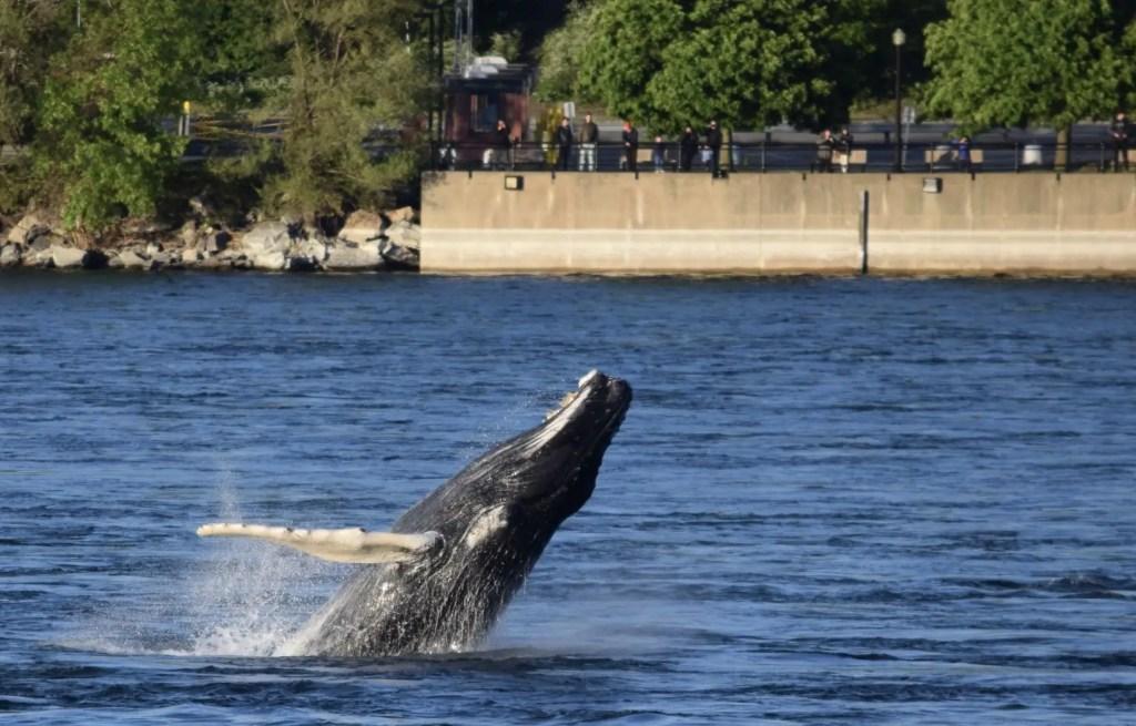 Le séjour de la baleine à bosse se prolonge à Montréal