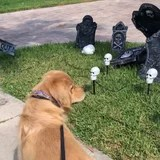 A Golden Retriever Got Spooked by Halloween Decor, and How DARE You, Plastic Graveyard