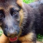 The Cutest Pictures Of German Shepherd Puppies Popsugar Pets