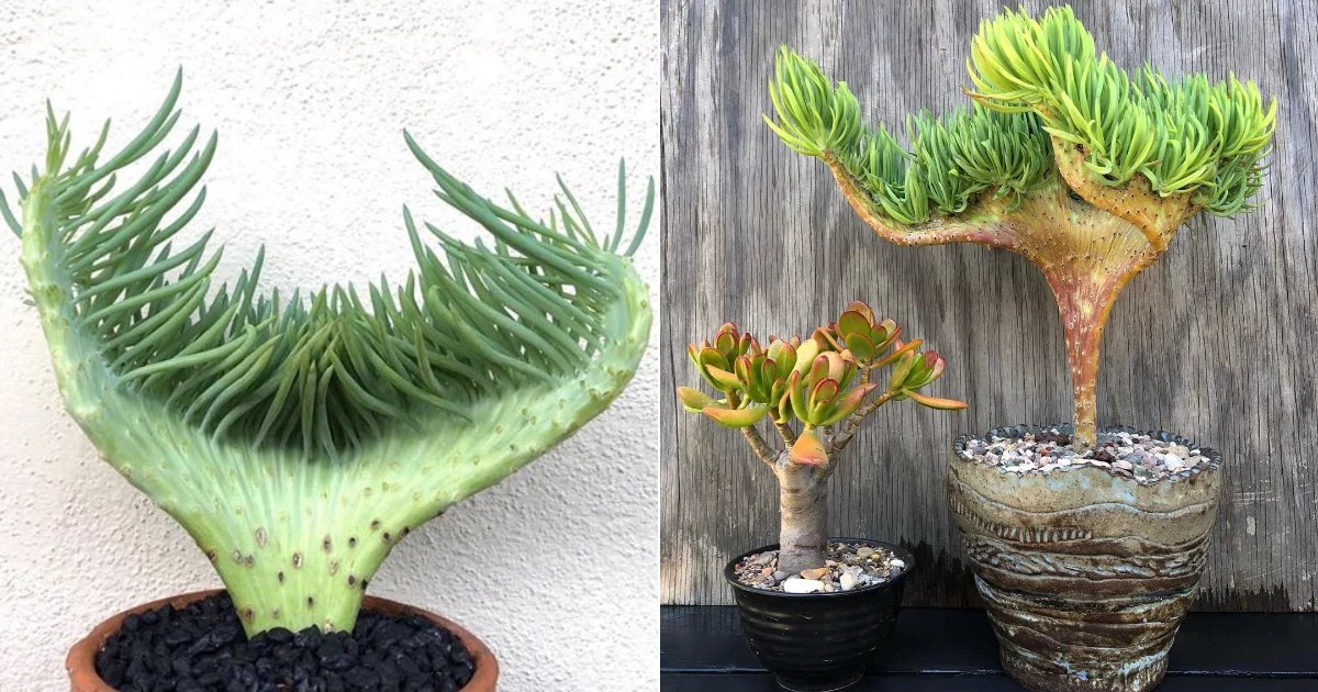 Very Important Announcement! Mermaid Tail Succulents Exist, and They Are Pure Magic