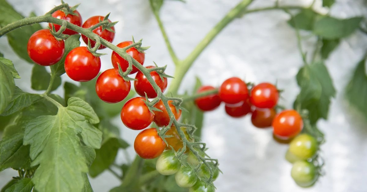 30 Tomato Plants to Buy Online For Fresh-Off-the-Vine Produce at Home