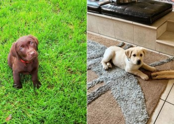 35 Photos of Labrador Puppies That Make Us Squeal With Joy