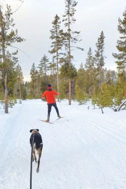 Beans, a local mutt, goes skijoring with Bendite Jamie Dawson. - JAMIE DAWSON