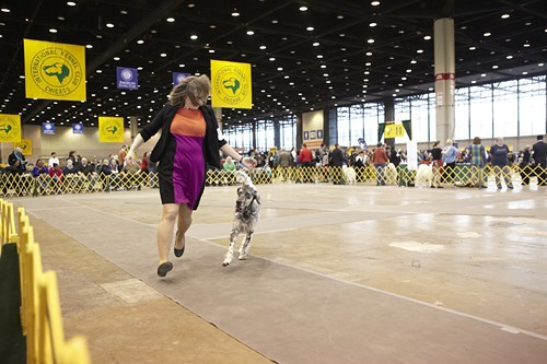 An English setter in action.
