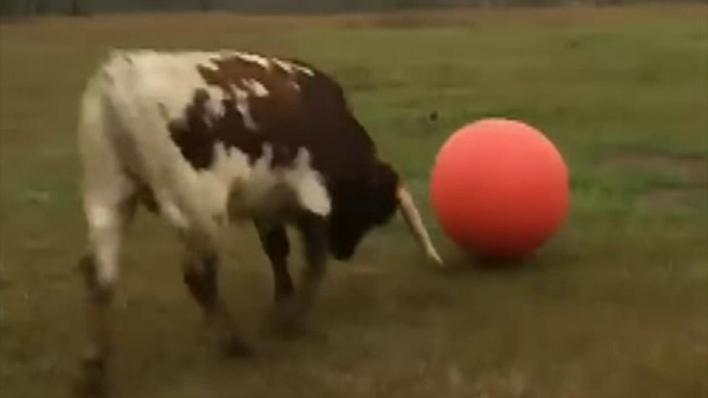Raw video: Bull in Texas plays with an inflatable ball