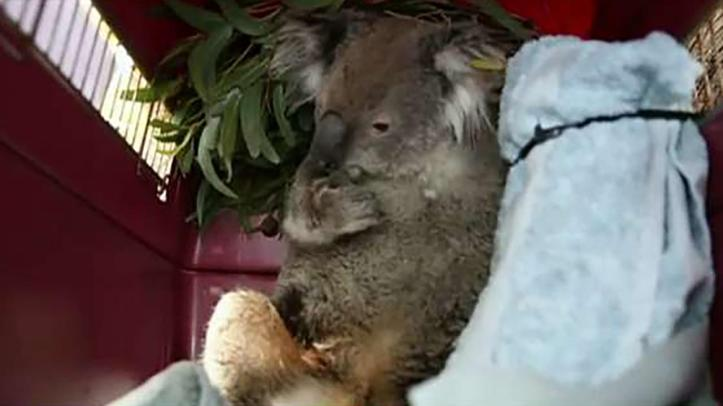 Injured animals being rescued and rehabilitated around the clock in Australia
