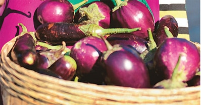 Genetically modified Bt Brinjal