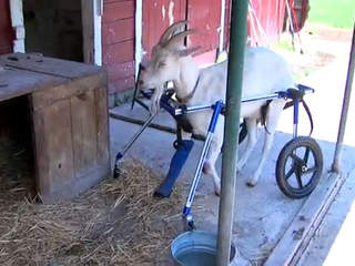 Joshua the goat with walkin wheels wheelchair