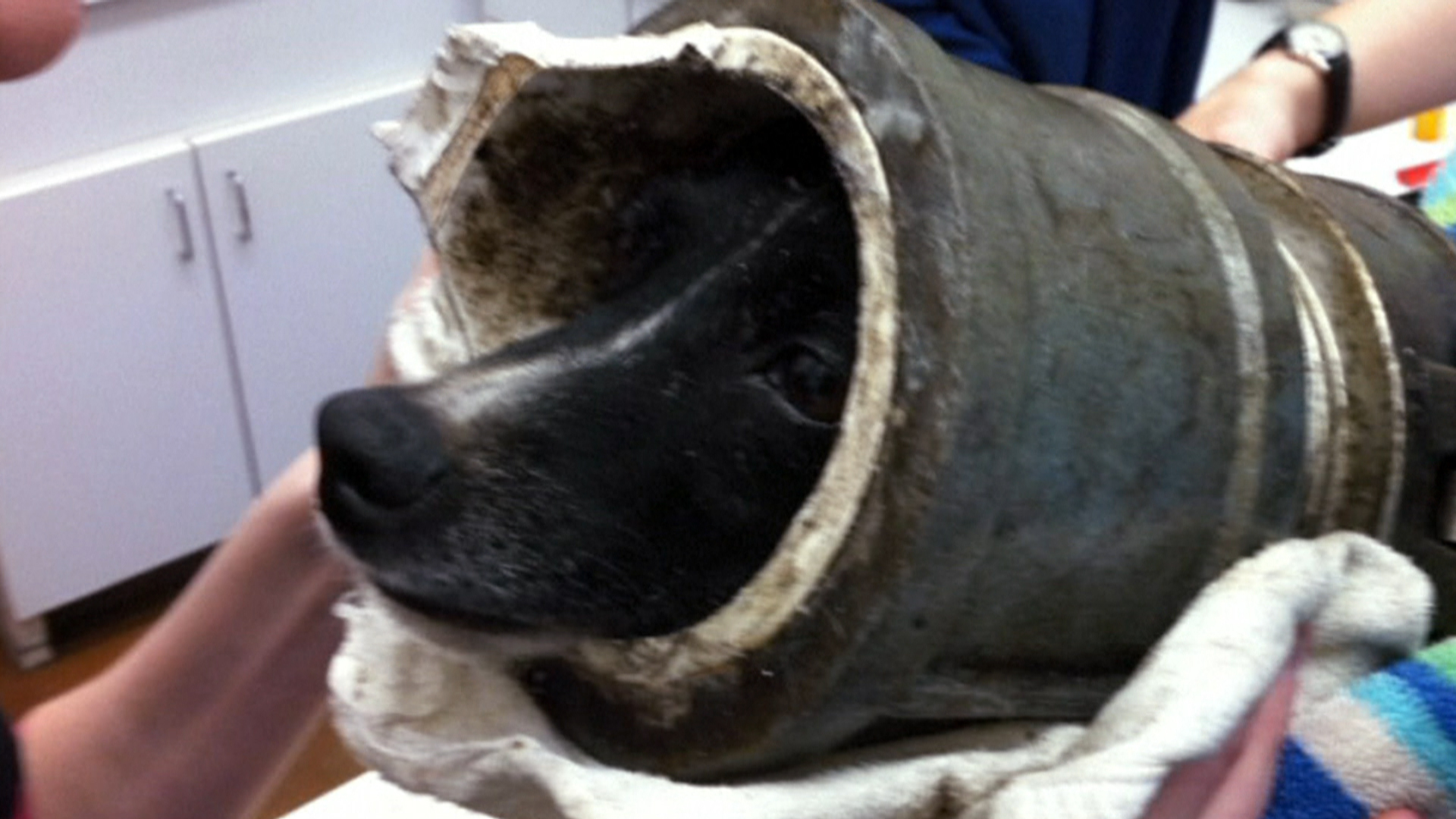 Dog Chases Squirrel Gets Head Stuck In Pipe Today Com