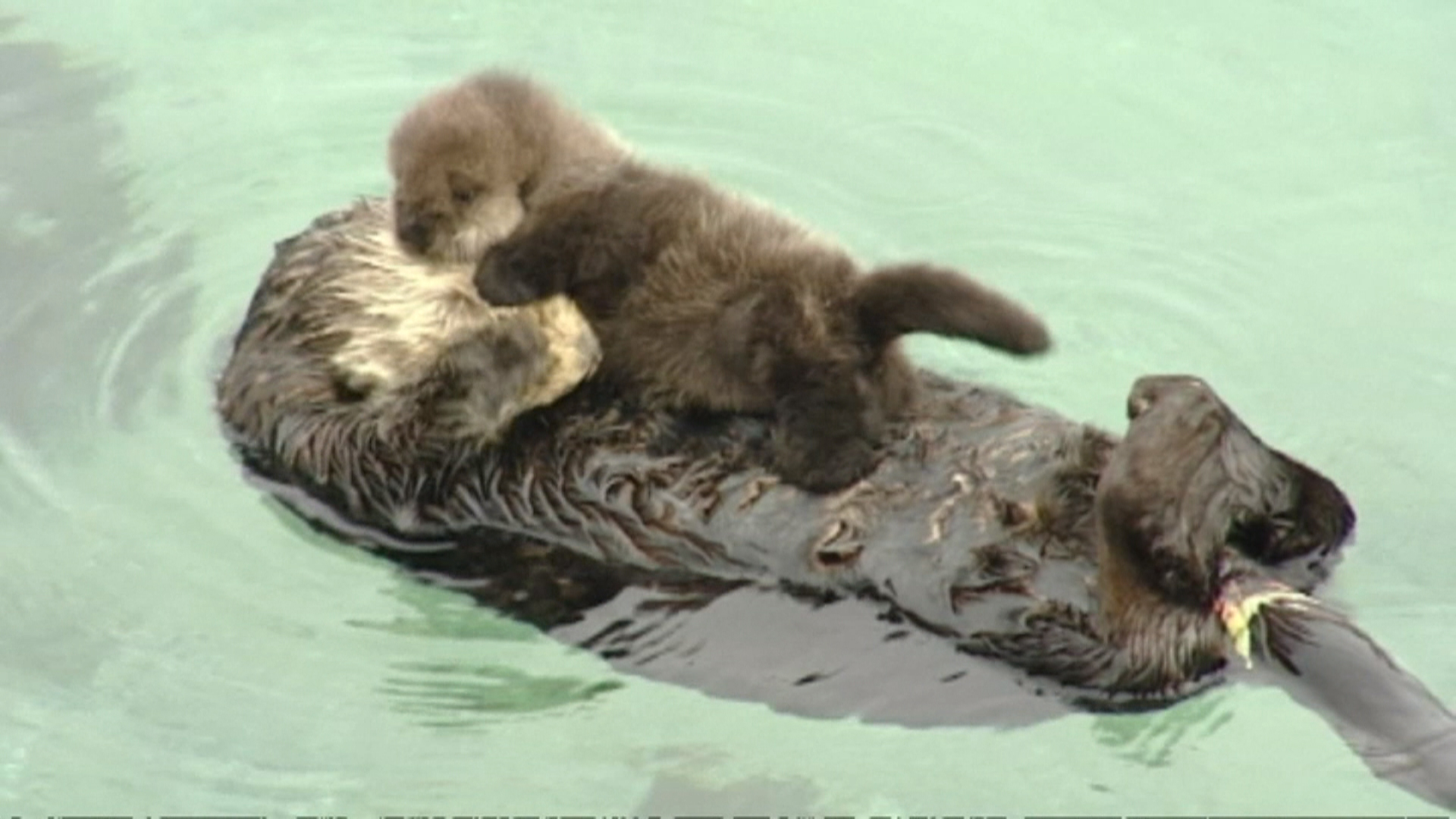you otter get a look at this cute baby otter today com