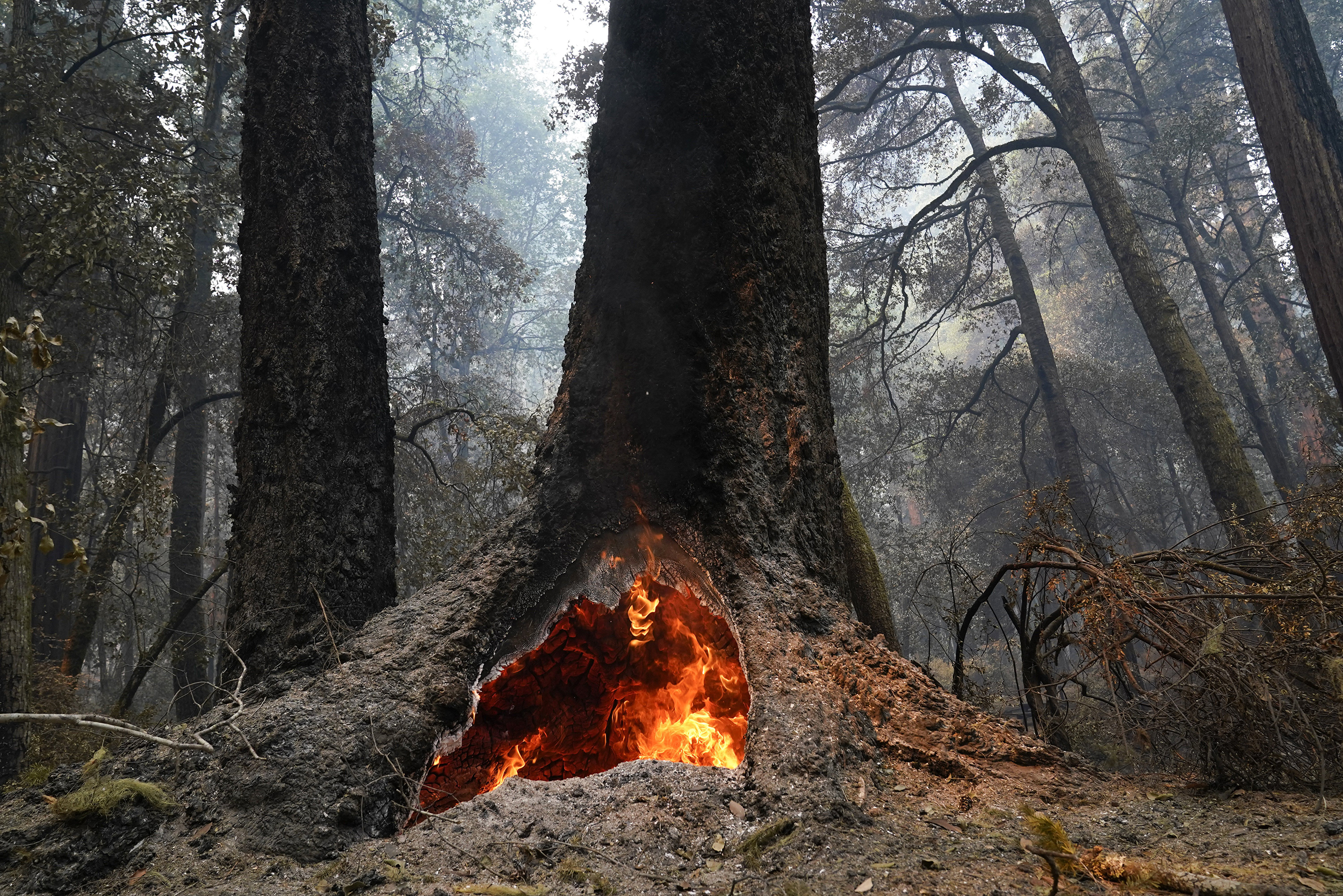 Iconic California redwoods threatened by climate change
