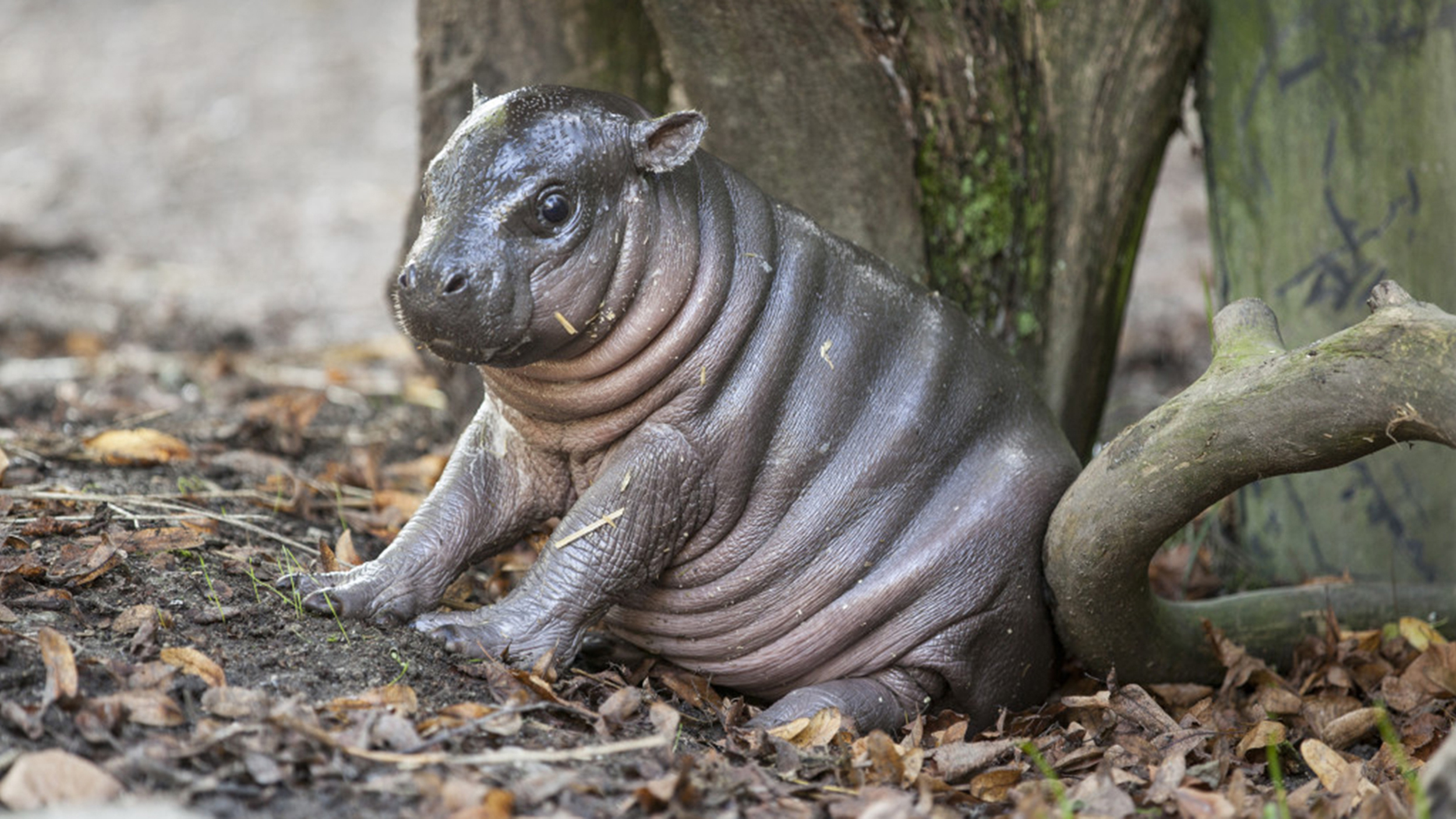 See Why This Adorable Baby Hippo Has Been Nicknamed