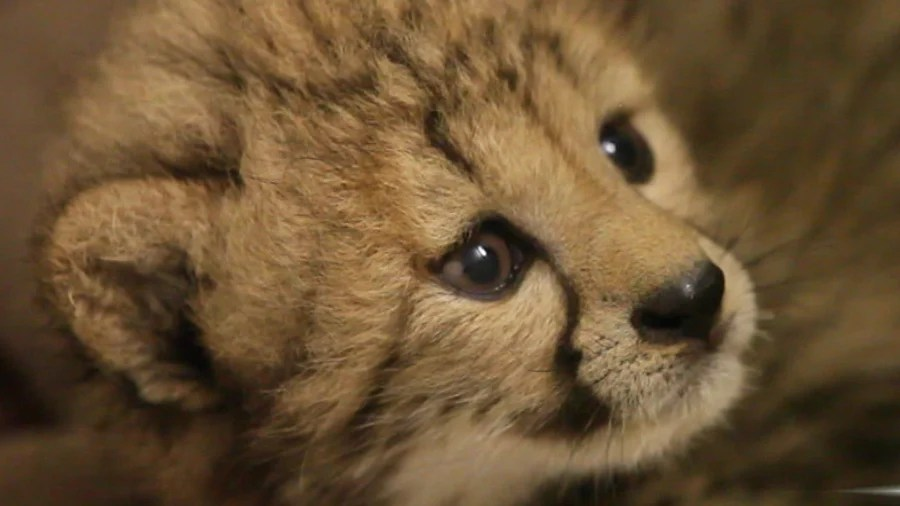 help name a very rare and very cute cheetah cub today com