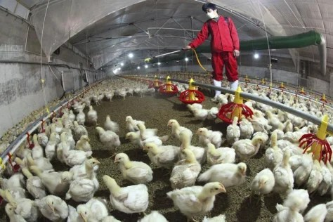 An employee sprays to sterilize a poultry farm in Hemen township