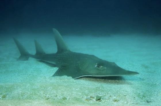 A giant guitarfish.
