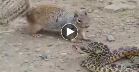 Watch The Deadly Battle Between A Squirrel And Snake, Never Underestimate The Small Guy