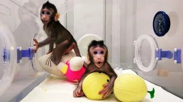 Image result for Scientists Successfully Clone Monkeys