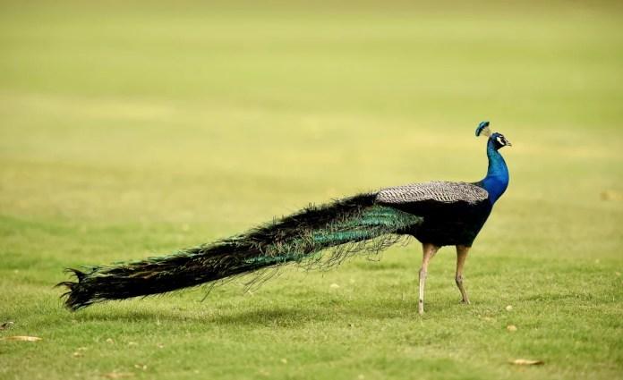 Image: peacock