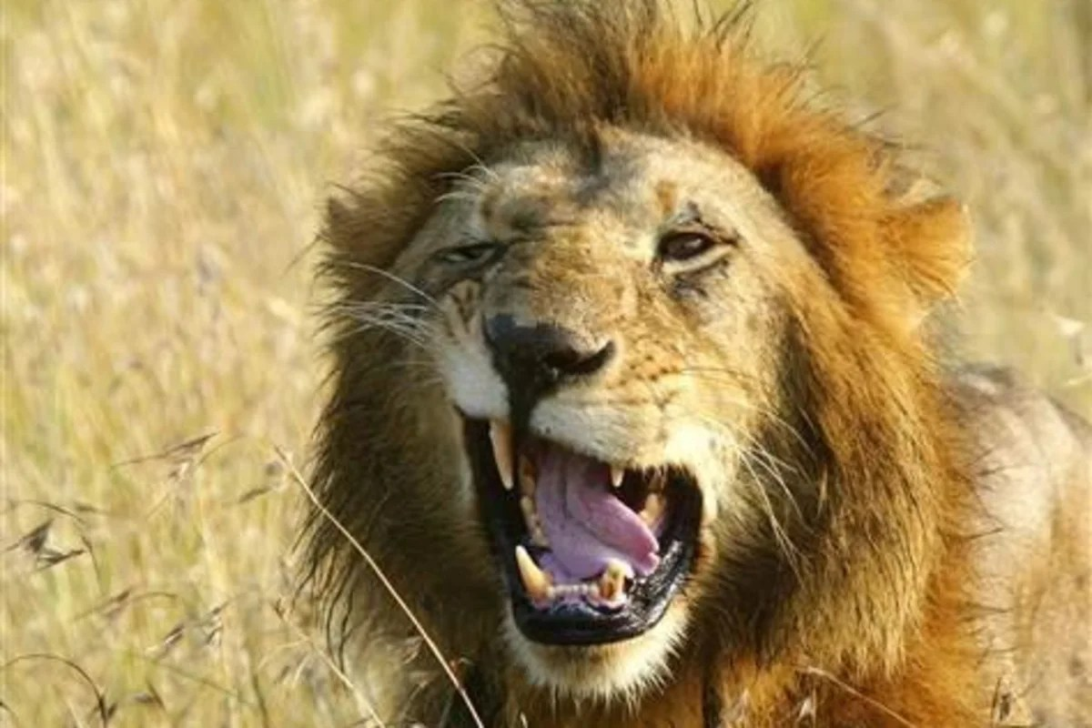 Male Lions Do Help With The Hunting After All