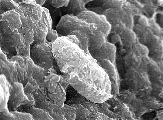 Biomorfo no meteorito marciano