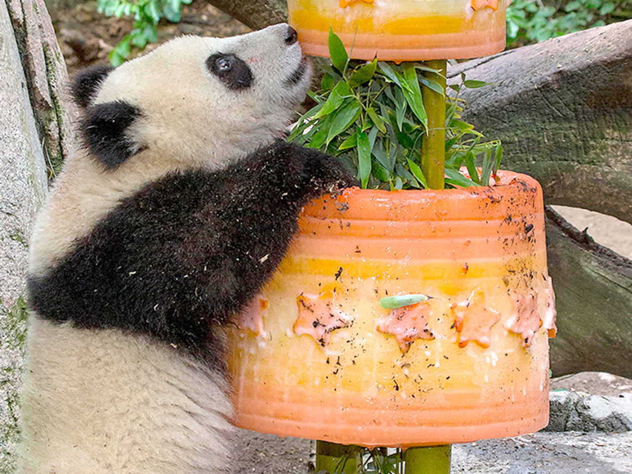 1 Year Old Panda Cub Gets 200 Lb Ice Cake For Birthday