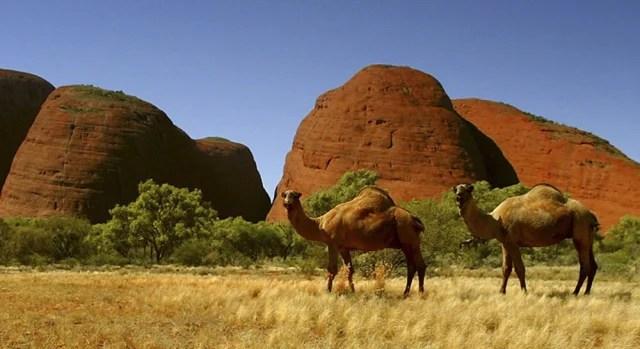 camels australia
