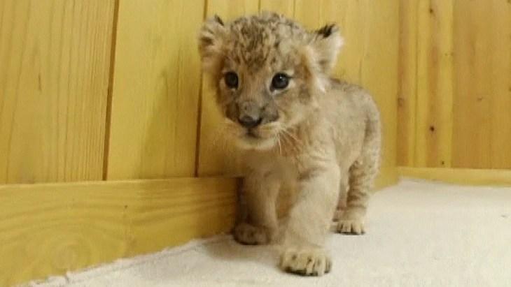 newborn lions play for the camera video on nbcnews com
