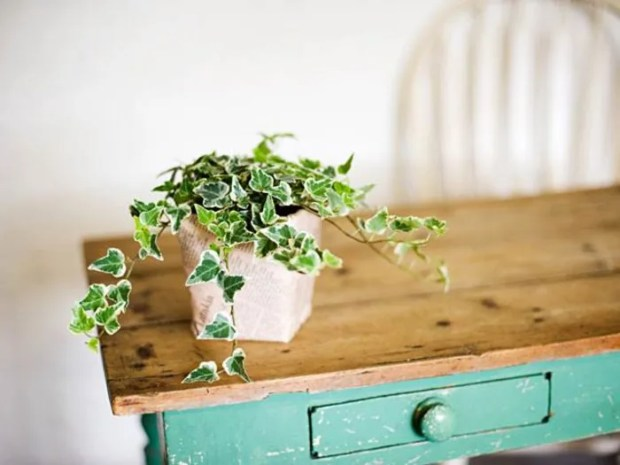 Plant Decor Small English Ivy Plant on Teal Wooden Desk Indoor Plants Green Thumb