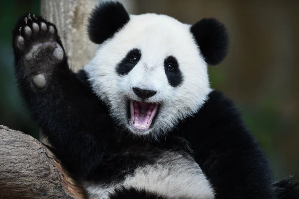 Giant Pandas Are No Longer Endangered