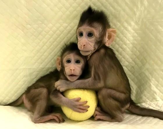 Image: Cloned monkeys Zhong Zhong and Hua Hua