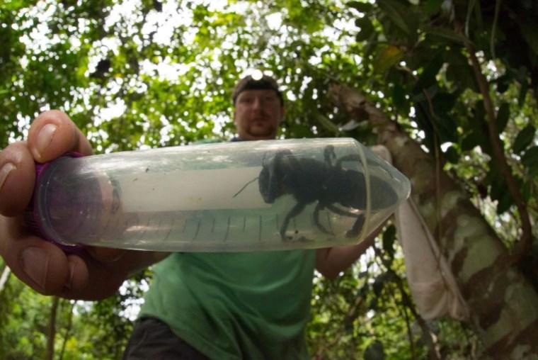 Lebah raksasa Wallace