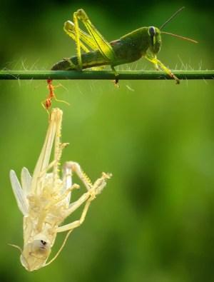 Grasshopper sheds skin in a perfect replica  TODAY