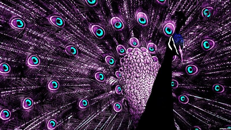 Purple-Peacock--http://www.pxleyes.com/images/contests/five-colors/fullsize/purple-peacock-4e92c8e2b252e_hires.jpg