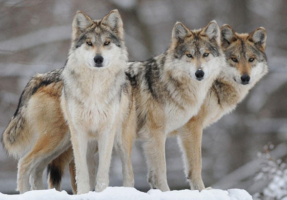 Image result for image of gray wolf