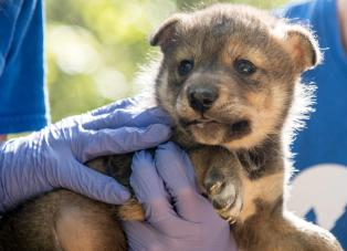 Mexican wolf pup born in captivity, the result of artificial insemination