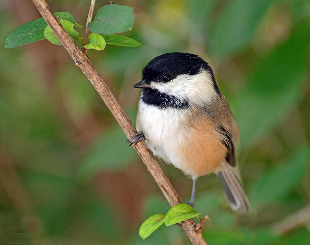 Image result for chickadee, genesee county michigan