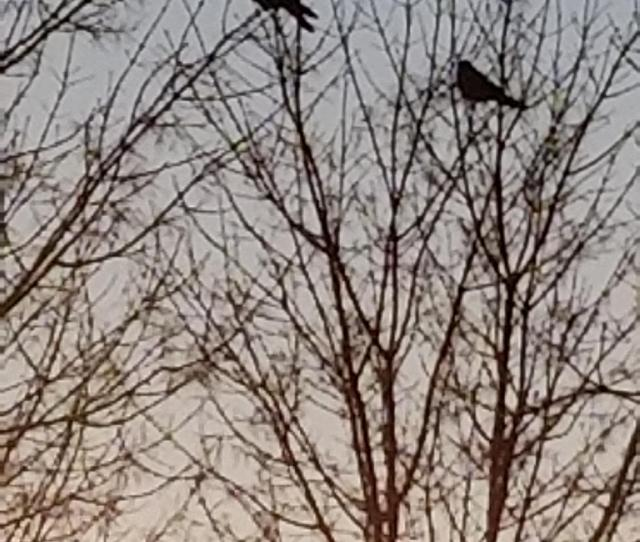 The Crows Create An Impressive Sight And Sound Around Lewiston And Auburn
