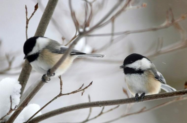 Image result for two chickadees