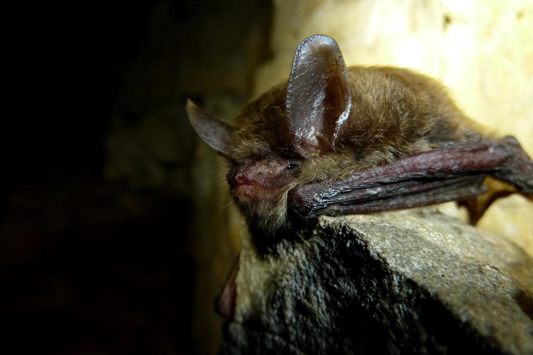 Bats Living With Wildlife Washington Department Of Fish
