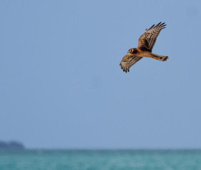 Want To See The Fastest Animal On Earth Look Up This Weekend In The Keys Wlrn