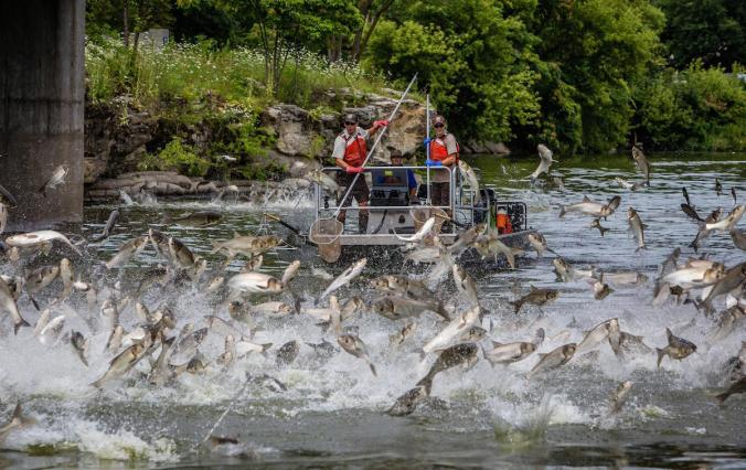 Image result for asian carp