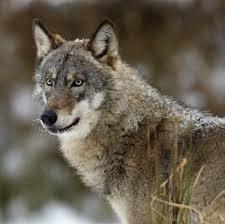 Gray wolves are back on the endangered species list in most U.S. states.