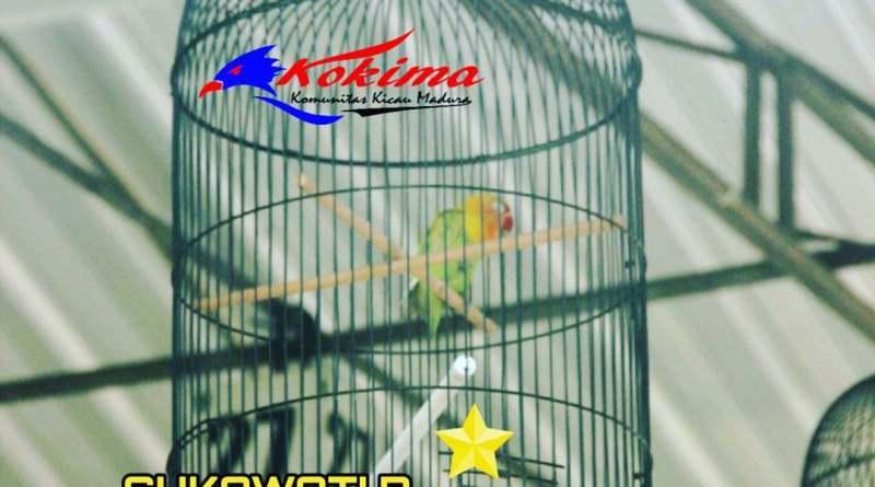 Lovebird Sukowati R Milik Andre KKBC Sampang