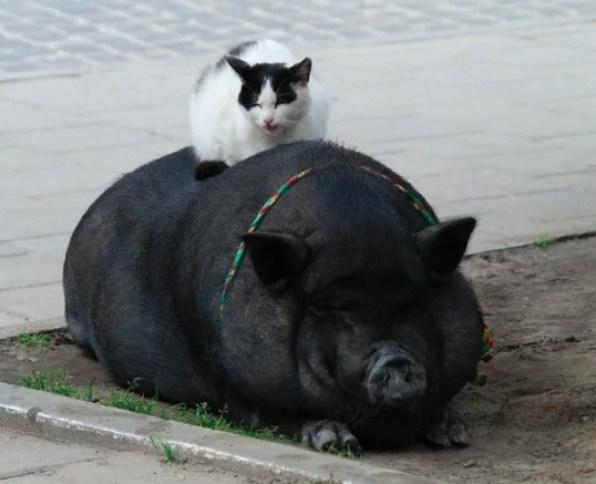Люди сделали кормушку для котов, чтобы кабаны их не объедали. Но (фейл) пришёл мангуст и украл оттуда всю еду