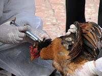 pentagon's alarming project: avian flu biowar vaccine