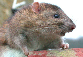 21st century black plague could spread from rats to humans