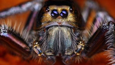 دراسة: العناكب السامة تتغذى على الأفاعي