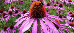 Echinacea: A Beautiful Flower with a Beautiful Purpose in Natural Health – Prof. Deryl Gulliford RRT, RCP, MHA, FAAMA | ACHS.EDU